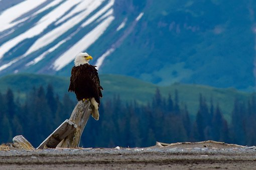 Magestic Eagle on the Sea to Sky Highway