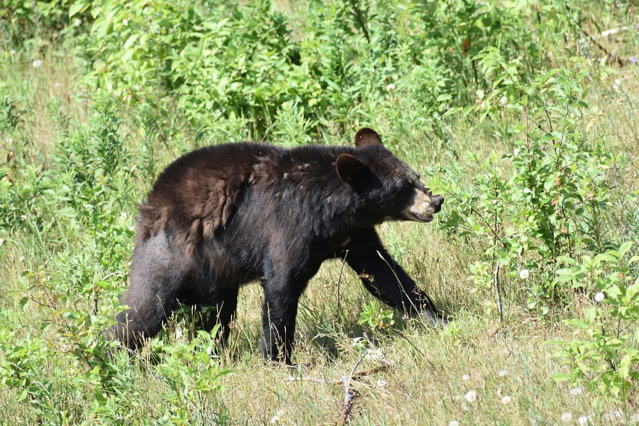 Black Bear, native to British Columbia. Likely to be seen on a Vancouver to Banff drive.