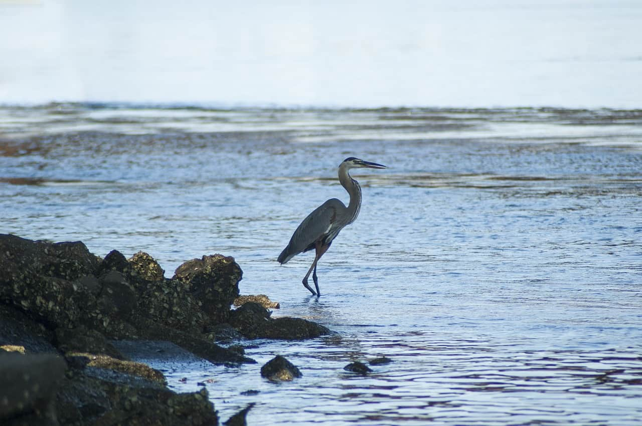 A Great Blue Heron, native to British Columbia