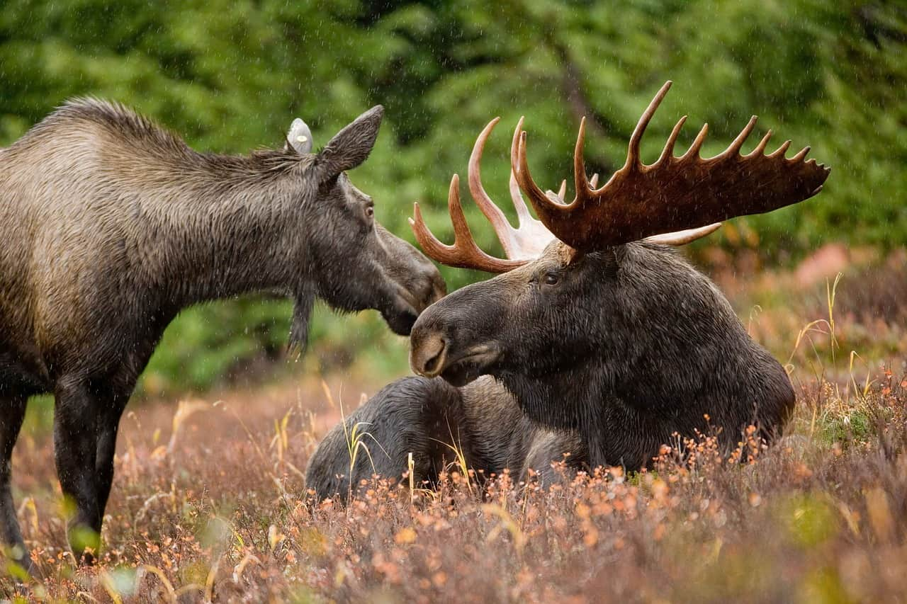 Two large Moose