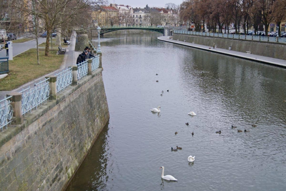 swans swiming on the Seine